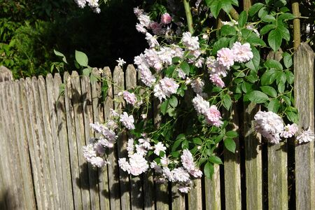 Close up of pale pink blossoms of rambler or climbing roses on a weathered wooden fence and pergola, dreamy inflorescence in a romantic country cottage garden in early summer Reklamní fotografie