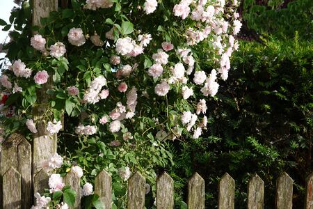 Close up of pale pink blossoms of rambler or climbing roses on a weathered wooden fence and pergola, dreamy inflorescence in a romantic country cottage garden in early summer