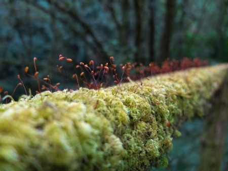 Red spore green moss photo
