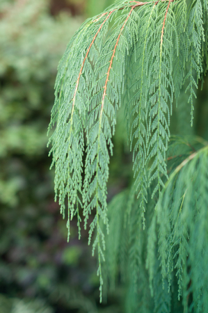 cypress: Hiba arborvitae-Japan Cypress Stock Photo