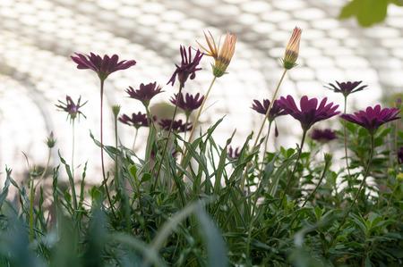 muti: Muti Color Aster flower