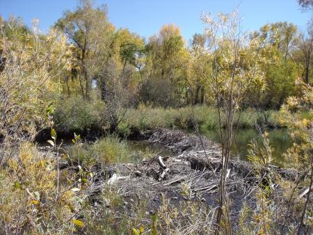 south platte river: beaver dam