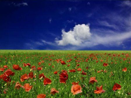 poppy field: PAPAVER VELD # 2