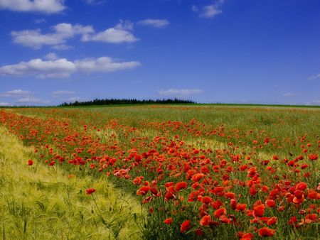 poppy field: PAPAVER VELD # 1