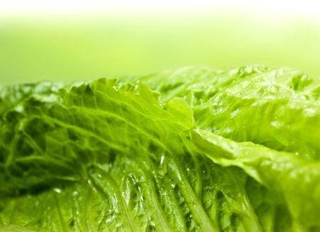 Green romaine lettuce with light green background