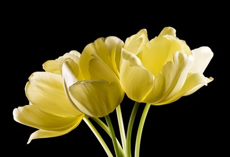 Bunch of yellow tulips highlighted on black background. Blooming spring flowers with yellow buds.  Фото со стока