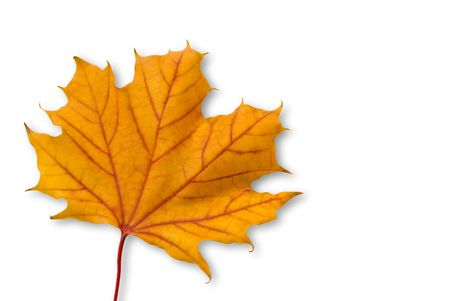 Yellow orange maple leaf with red veins