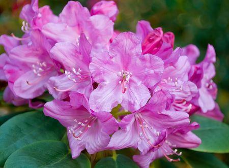 Pink azalea bush Фото со стока - 5817035