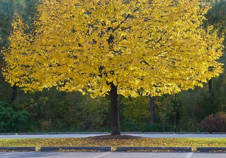 Canadian yellow tree with highlighted branches in a park