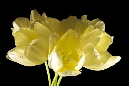 Bouquet of yellow tulips highlighted on black background. Blooming spring flowers with yellow buds.