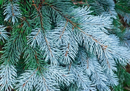 New needles on blue spruce branches with water drops, evergreen tree photo