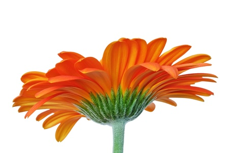 Beautiful orange yellow gerber daisy flower with green stem on white Фото со стока