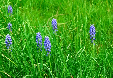 Blue flowers - grape hyacinths in green grass Stock Photo - 9693460