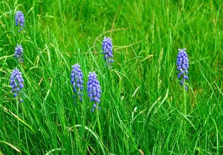 Blue flowers - grape hyacinths in green grass Banque d'images