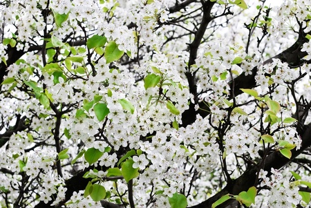 Branches of white blooming apple tree