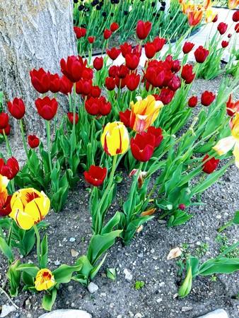 Tulips under a tree 版權商用圖片