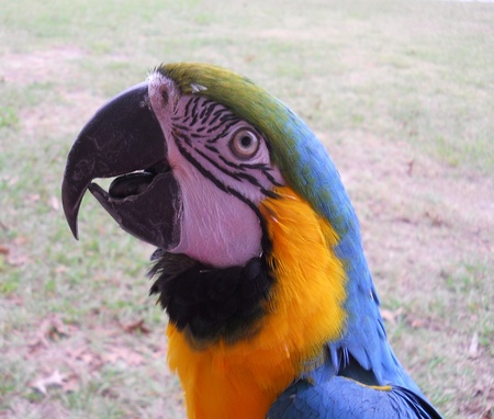 Blue and Gold Macaw Stock Photo - 12587430