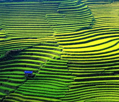 田んぼには、サパ (Sa Pa)、ベトナムの棚田。田んぼは、ベトナム北西部で収穫する準備。