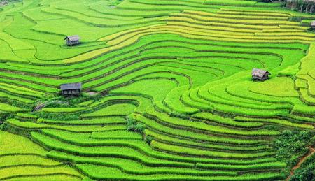 런던 (사파), 베트남의 테라스에 쌀 필드. 쌀 필드 노스 웨스트 베트남에서 수확 준비했다.