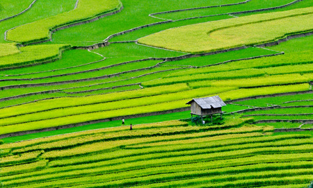 Rice fields on terraced of Sapa (Sa Pa), Vietnam. Rice fields prepared to harvest at Northwest Vietnam.
