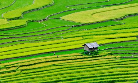 Rijstvelden op terrassen van Sapa (Sa Pa), Vietnam. Rijstvelden bereid zijn om te oogsten bij Northwest Vietnam. Stockfoto