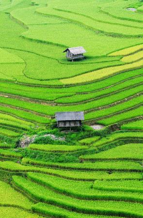 Rijstvelden op terrassen van Sapa (Sa Pa), Vietnam. Rijstvelden bereid om te oogsten in Noordwest-Vietnam.