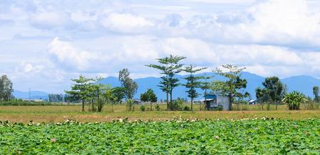 Lotus fields in Dong Thap, Mekong Delta, Vietnam photo