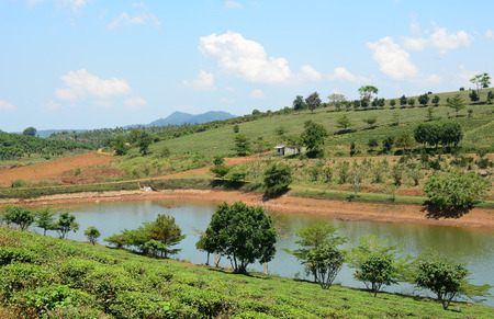 loc: Green tea plantation landscape in Bao Loc, Dalat, Vietnam.