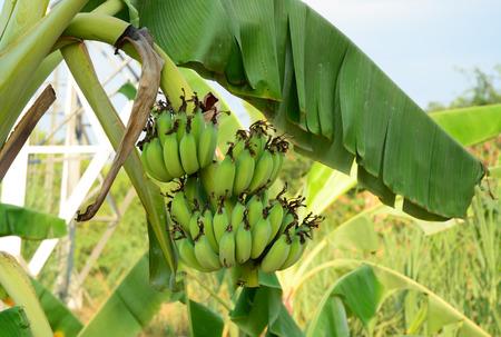 banana skin: Bunch of bananas on tree in Mekong Delta, Vietnam.