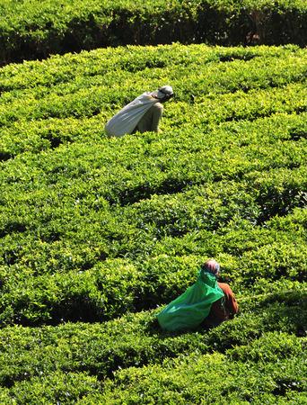 NUWARA ELIYA, SRI LANKA - JANUARY 4, 2015. Woman working in tea plantation in Nuwara Eliya. Directly and indirectly, over one million Sri Lankans are employed in the tea industry.  Image ID: 241582606