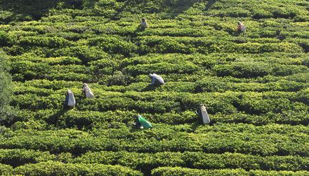 indirectly: NUWARA ELIYA, SRI LANKA - JANUARY 4, 2015. Woman working in tea plantation in Nuwara Eliya. Directly and indirectly, over one million Sri Lankans are employed in the tea industry.  Image ID: 241582606