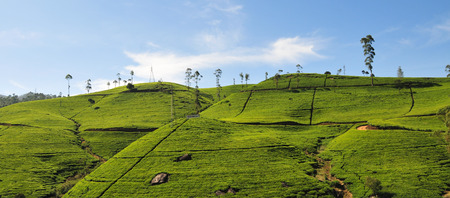 Landscape with tea plantations in Highlands, Sri Lanka.