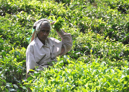 NUWARA ELIYA, SRI LANKA - JANUARY 31, 2012. Woman working in tea plantation in Nuwara Eliya. Directly and indirectly, over one million Sri Lankans are employed in the tea industry.