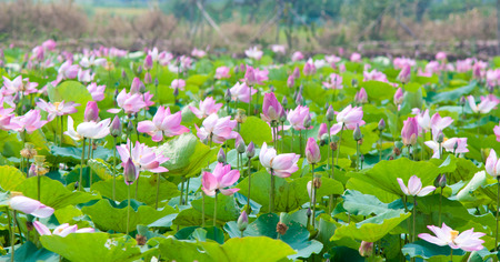 dong: Lotus fields in Dong Thap, Mekong Delta, Vietnam