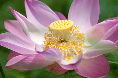 calyxes: Close-up of blossom pink lotus flowers in Mekong Delta, Vietnam. Stock Photo