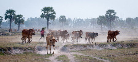 bullock animal: An Giang Vietnam  Mar 12 2011. People and cows going home in the dust at the end of day Mekong Delta An Giang Province Vietnam.