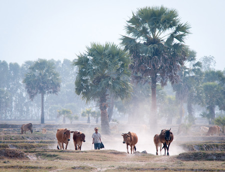 bullock: An Giang Vietnam  Mar 12 2011. People and cows going home in the dust at the end of day Mekong Delta An Giang Province Vietnam.