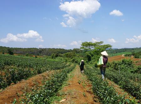 loc: Farmers working on tea farm at Bao Loc highland, Vietnam. Bao Loc tea hill is the best tea growing areas of Vietnam.
