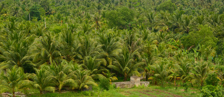 mekong: Coconut plantation in Mekong Delta, southern Vietnam. Stock Photo