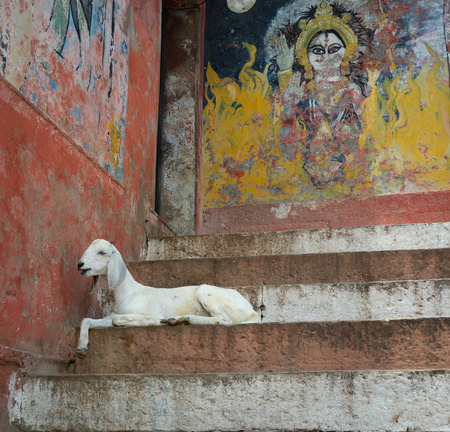 benares: A goat on the steps of the Varanasi ghats, India. Varanasi is one of the oldest continuously inhabited cities in the world.