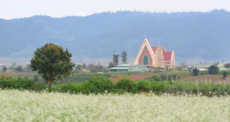 mustard field: Beautiful white mustard flowers field with a pink church in Dalat, Vietnam.