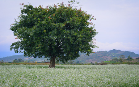Beautiful white mustard flowers field with a big tree in Dalat, Vietnam.