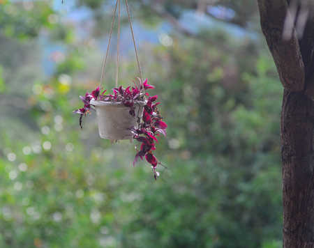 hanging flowers: Hanging flowers on nature background in Dalat, Vietnam.