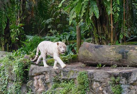 animales del zoologico: Tigre blanco en el Zoo de Singapur.