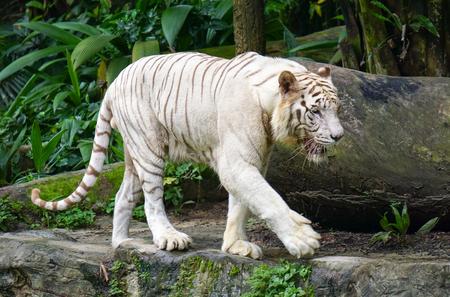 싱가포르 동물원에 화이트 타이거입니다. 스톡 콘텐츠