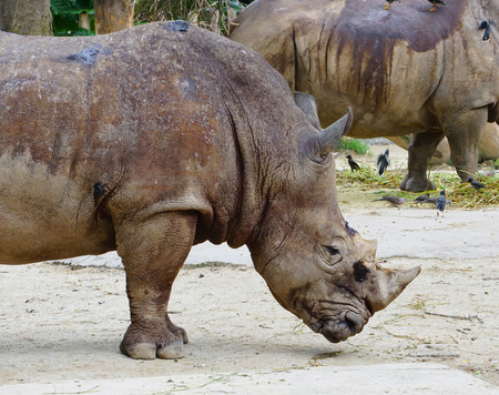 each year: Rhino in Singapore Zoo. The zoo attracts about 1.6 million visitors each year. Stock Photo