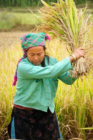 ha: Ha Giang, Vietnam - Jun 22, 2015. Vietnamese women working on the rice terraces field in Ha Giang, Northwest Vietnam.