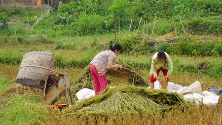 ha giang: Ha Giang, Vietnam - Jun 22, 2015. Vietnamese women working on the rice terraces field in Ha Giang, Northwest Vietnam.
