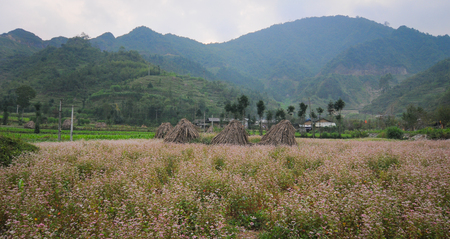 ha giang: Hill of buckwheat flowers in Ha Giang, Vietnam. Ha Giang has many cultural festivals due to the presence of more than 20 ethnic minority groups.