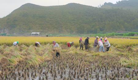 ha giang: Ha Giang, Vietnam - Jun 22, 2015. Vietnamese people working on the rice terraces field in harvesting day in Ha Giang, Northwest Vietnam.